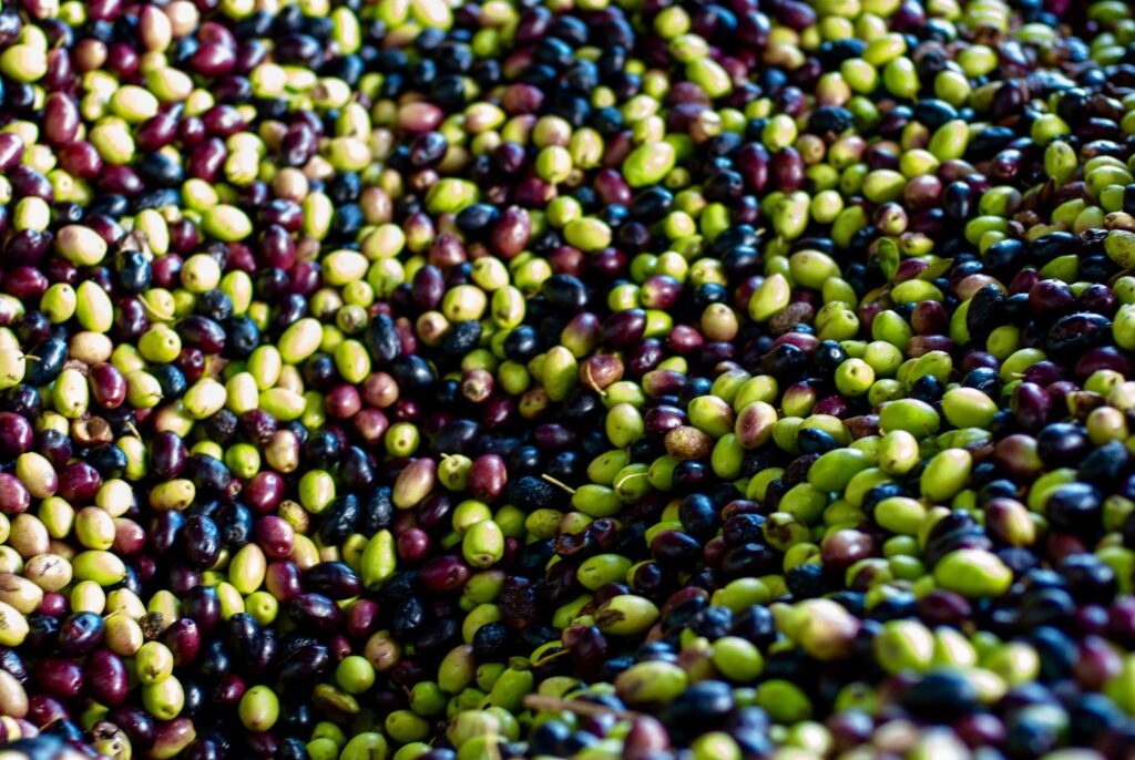 Olives colourful in the press for production olive oil.